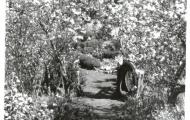 Cherry blossom, The Homestead, Ridgeway